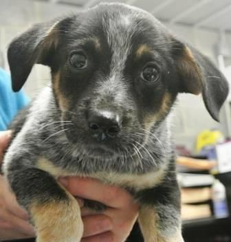 Adopt Moochie On Petfinder Blue Heeler Dogs Australian Cattle Dog Blue Heeler Australian Cattle Dog