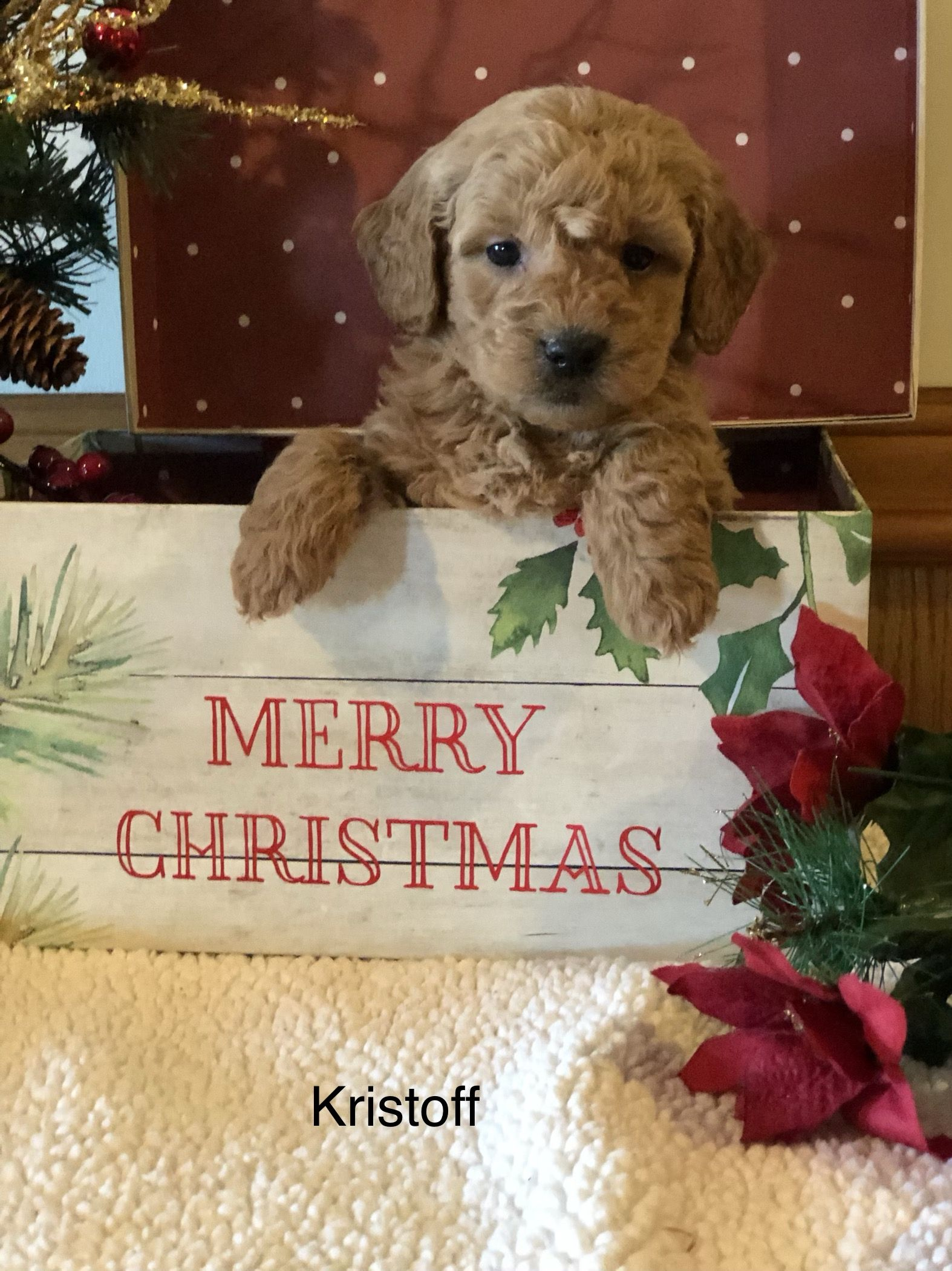 Puppies for Sale (With images) Mini labradoodle puppy