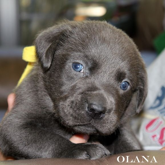 Charcoal Lab Puppies Silver Labrador Breeders Lab Puppies Charcoal Lab Puppies Puppies