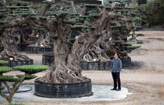 Ponga un árbol milenario en su jardín | Olivo, Centenario y Vivero