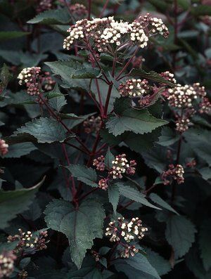 Eupatorium rugosm chocolate plant pinterest deep purple the deep purple leaves create a thick bush that is ornamental by itself and then in fall the white umbels mightylinksfo