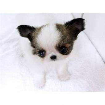 Mini Yorkie Puppies For Sale Awesome Miniature Tea Cup Yorkie