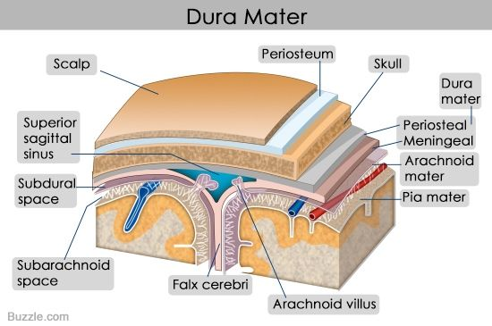 Structure and functions of the dura mater explained with diagrams structure and functions of the dura mater explained with diagrams ccuart Choice Image