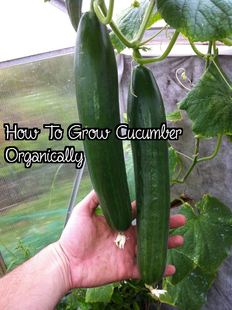 How To Grow Cucumber Organically is part of Growing cucumbers, Cucumber, Grow organic, Growing, Organic, Nutritious - Growing cucumber organically isn't complicated  Cucumber is favorite to many people's dishes because of the flavor associate with them  Their demand in the market is high, and it is in this r…