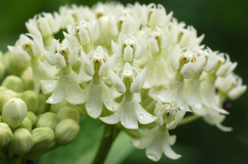 Pin on Milkweeds and Monarch Butterflies