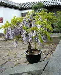 Image result for how to grow wisteria in a pot