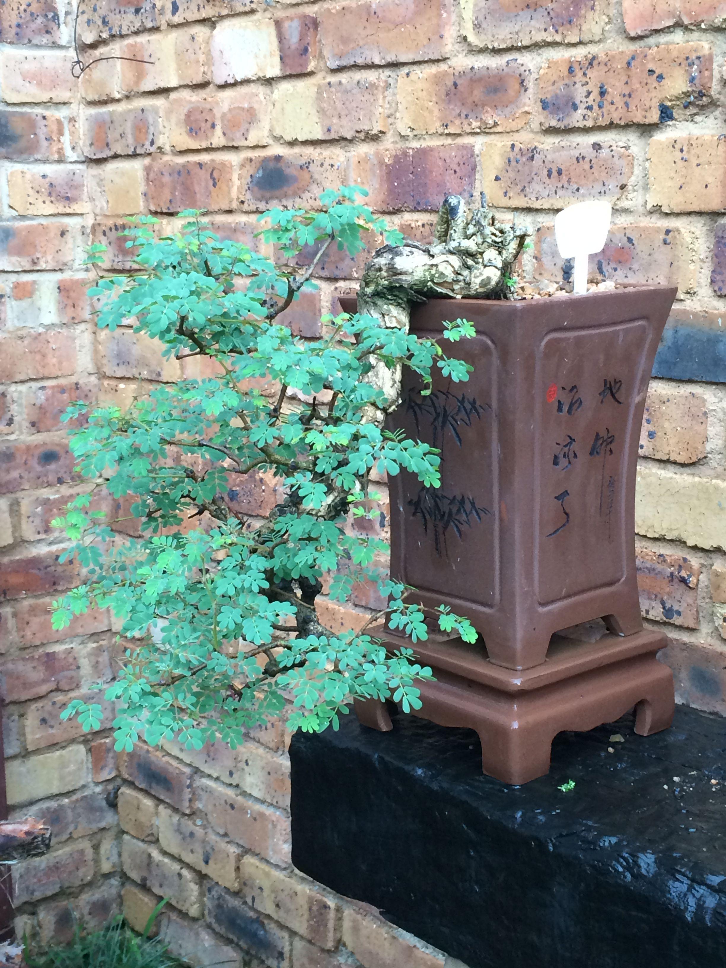 black monkey thorn acacia burkei kiraku bonsai bonsai black monkey thorn acacia burkei 1975 kiraku bonsai