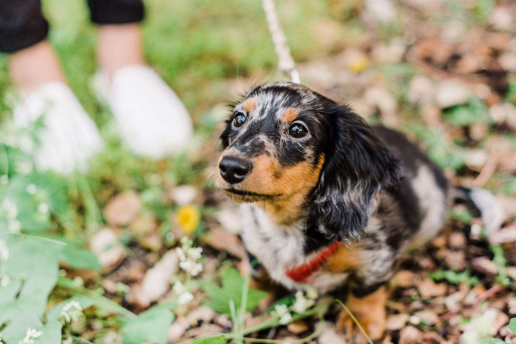 Pet Portrait Of Black Long Haired Dachshund Puppy