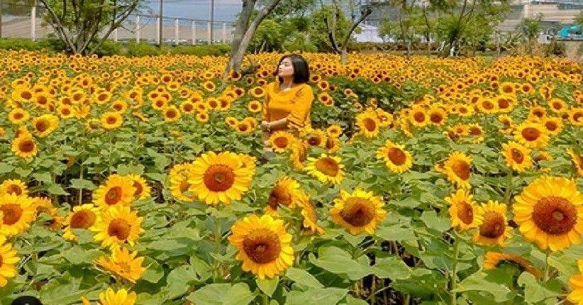 Kebun Matahari Di Bandung