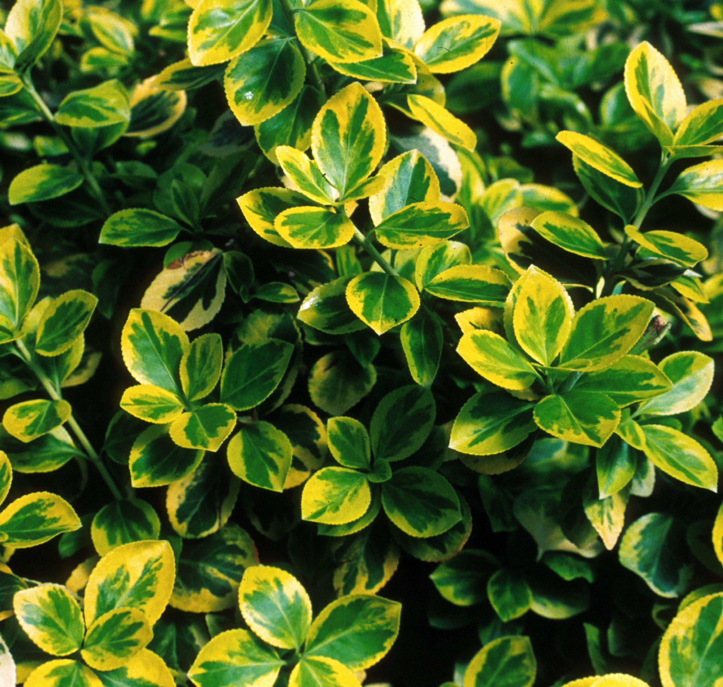 Moonshadow Euonymus Evergreen Shrubs Shrubs Bushes And Shrubs