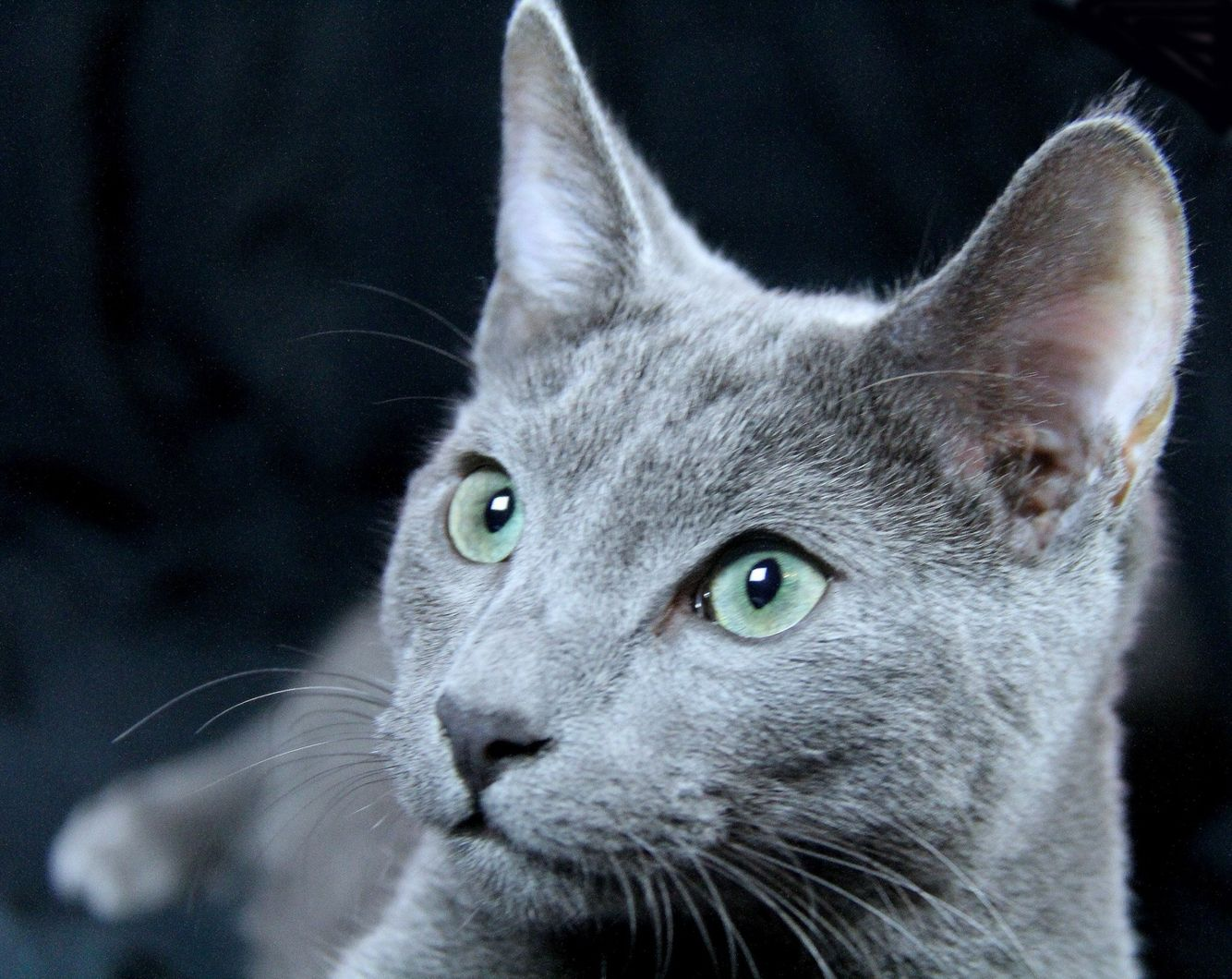 Artus Russischblau Russianblue Katzen Cats Russian Blue Russian Blue Kitten Russian Blue Cat