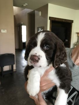 Springer Spaniel Puppies For Sale Near Me : springer, spaniel, puppies, Litter, English, Springer, Spaniel, Puppies, CEDAR, HILL,, TX.…, Puppies,, Cocker, Puppy
