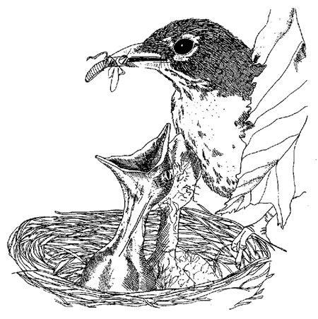 American Robin Coloring Bird Sketch American Robin