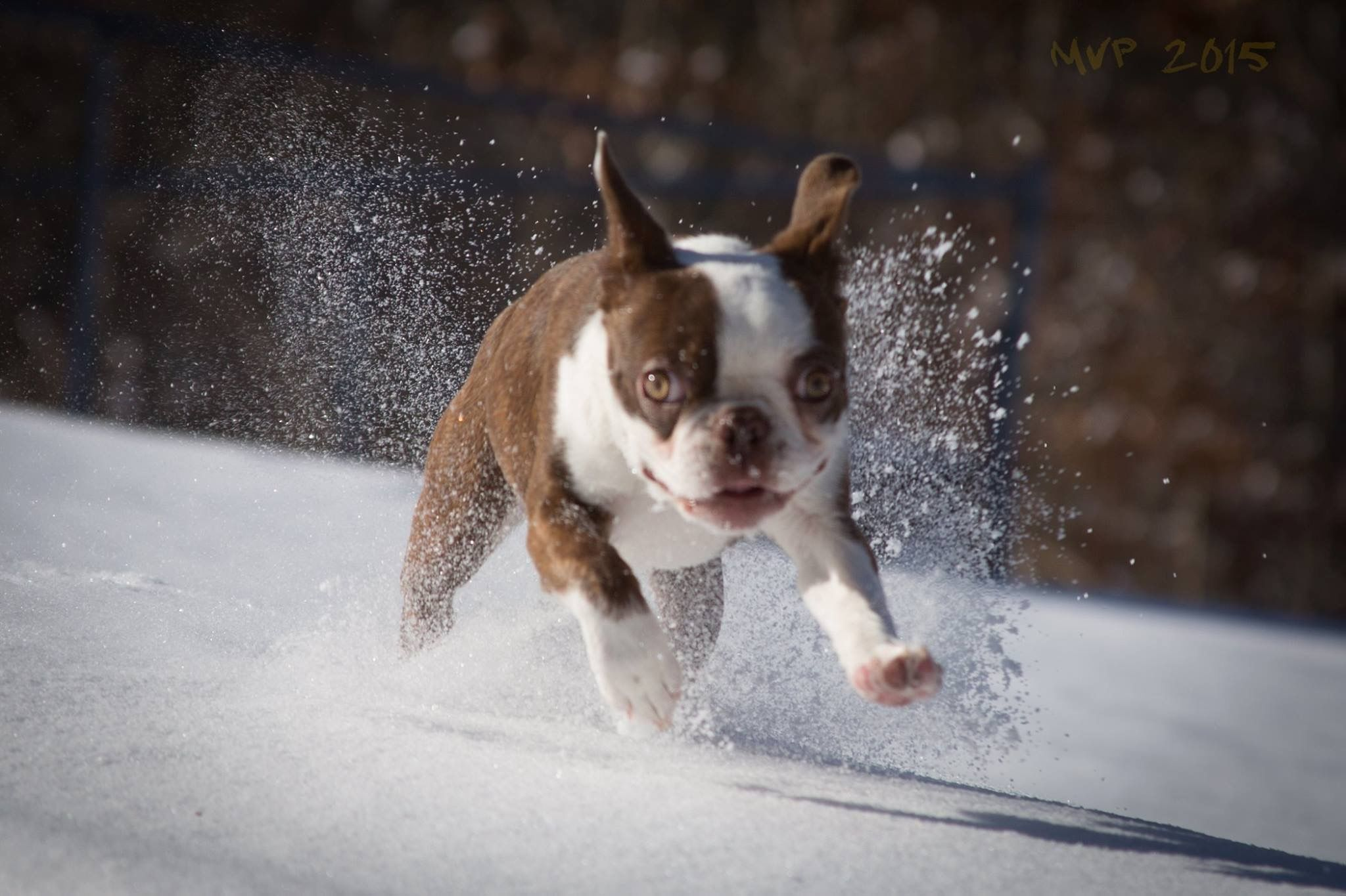 Pin de tasha davis en boston terrier pinterest
