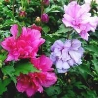 Rose Of Sharon Fireworks Double Rose Of Sharon Hibiscus Beautiful Flowers