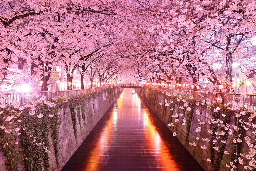 Sakura Tunnel Japan Magical Tree Tunnel Canopy Flowers Cherry Blossoms