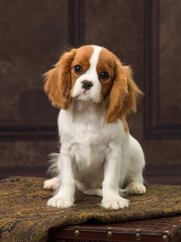 Lizmere Cavaliers Usa Cavalier King Charles Dog Cavalier King Spaniel King Charles Cavalier Spaniel Puppy