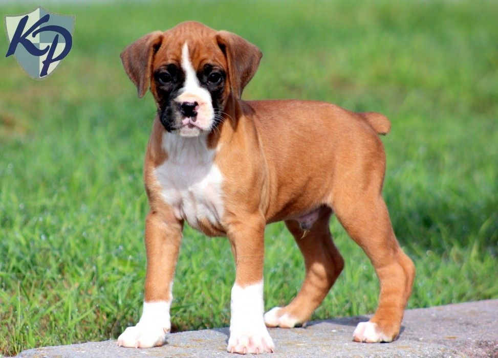 Puppy Finder Find Buy A Dog Today By Using Our Petfinder Boxer Mix Puppies Boxer Puppies Puppy Dog Pictures