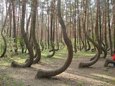 Mysteriously crooked trees in a forest in Gryfino, Poland. The reason for the curve is still unknown.