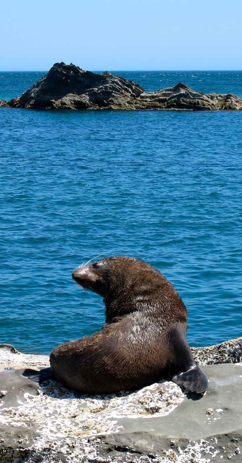 Cape Palliser Fur seal NZ