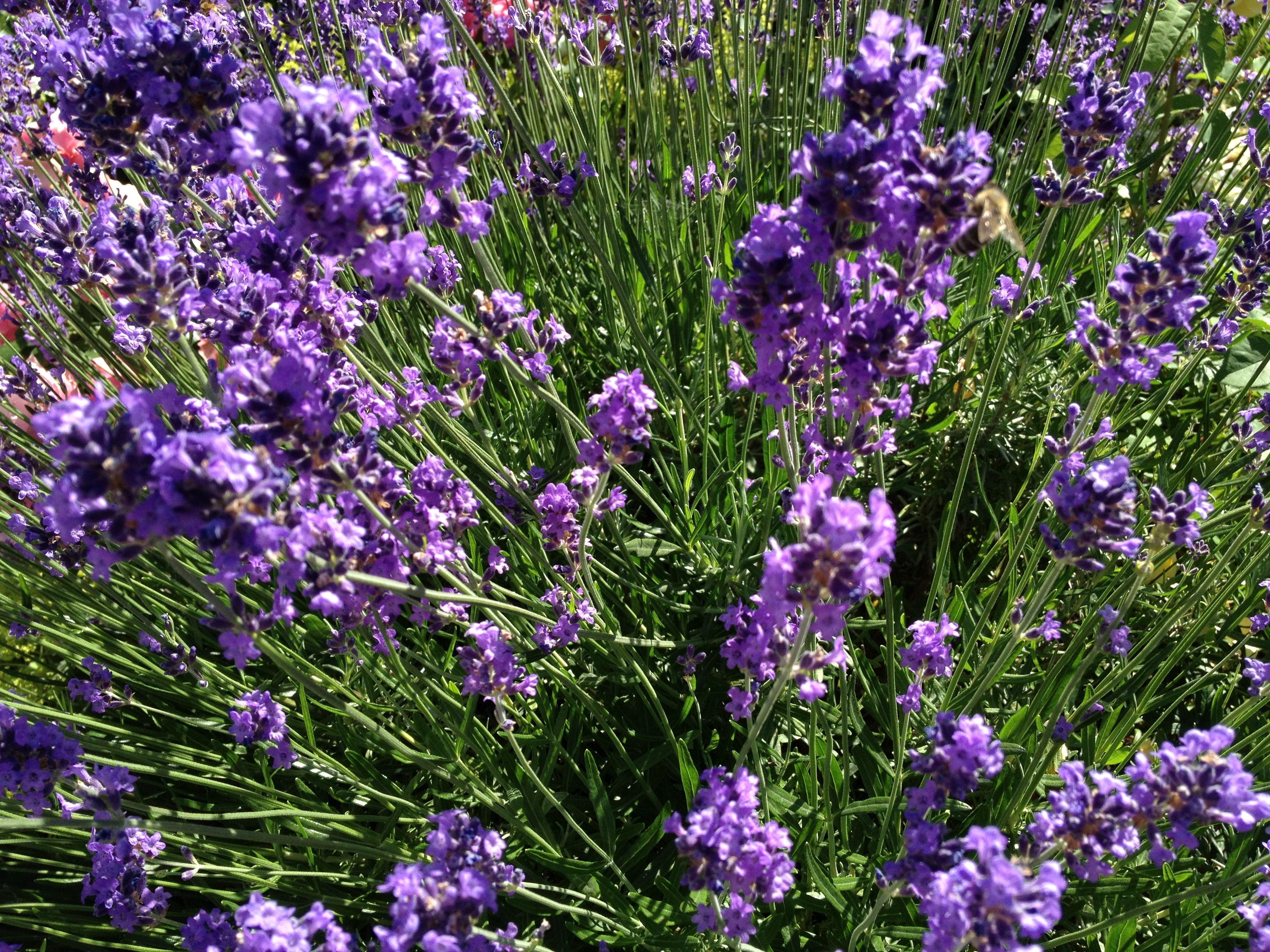 Lavendel Pflege Richtige Lavendel-pflege: Bei Beachtung Einiger ... Lavendel Pflanzen Tipps Pflege