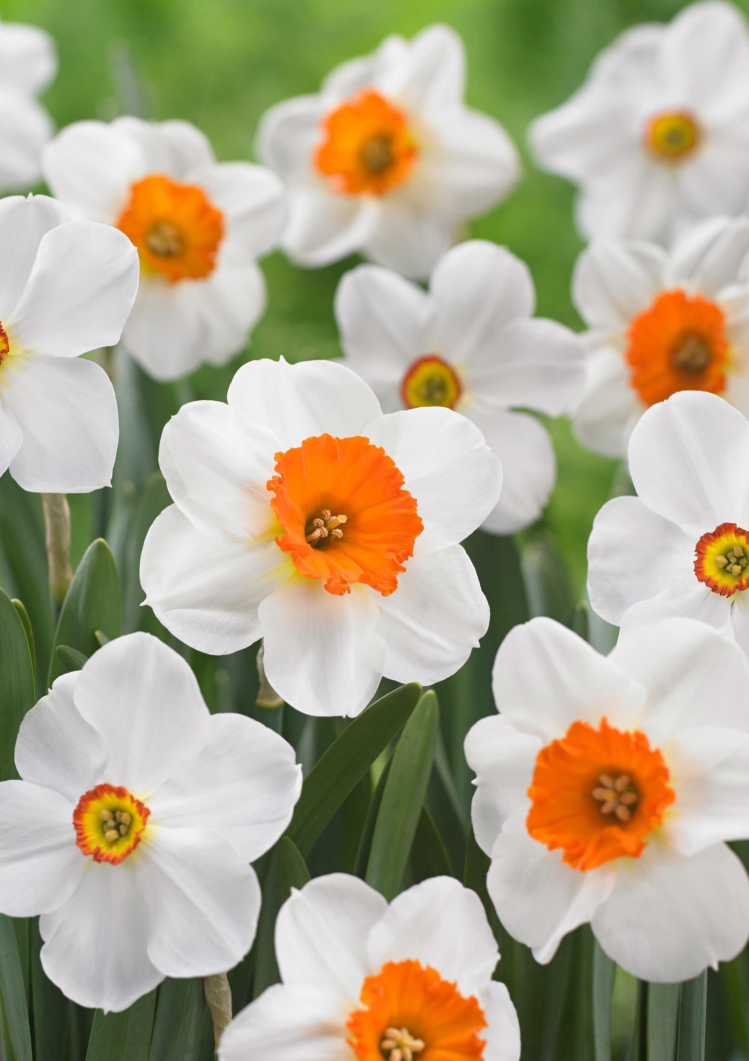 Our Top 10 Daffodils And Why We Love Them Longfield Gardens Daffodils Bulb Flowers Summer Bulbs