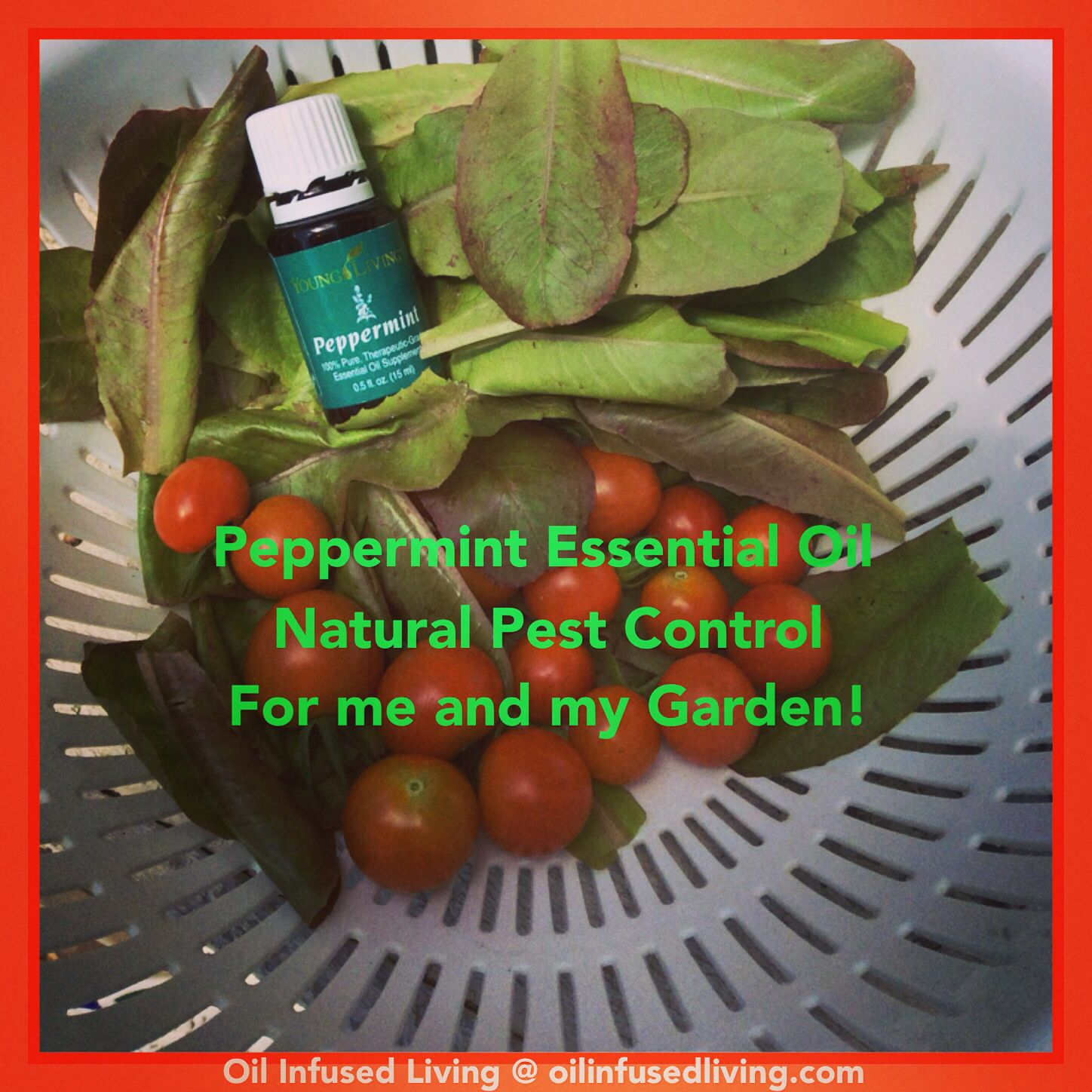 Peppermint Essential Oil For Organic Pest Control In My