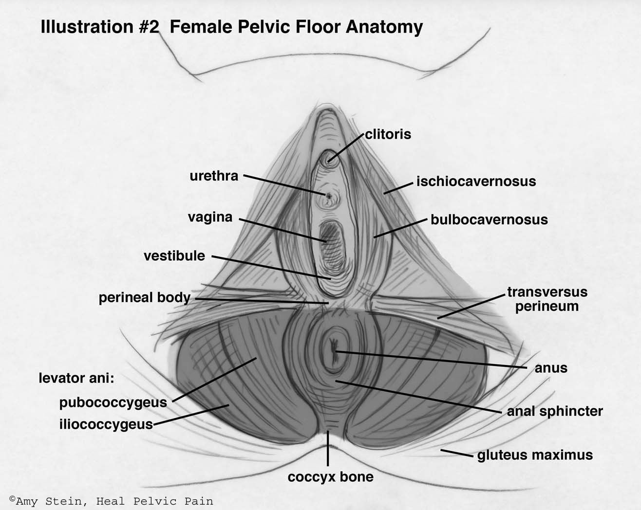 Do Your Kegels  Baby  Pelvic Floor, Anatomy, Pelvis Anatomy-9158