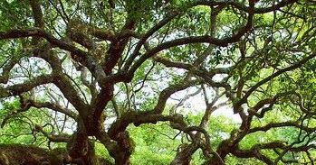 This Is The Angel Oak Tree In Charlston An Enormous Live Tre Angel Oak Trees Tree Angel Oak