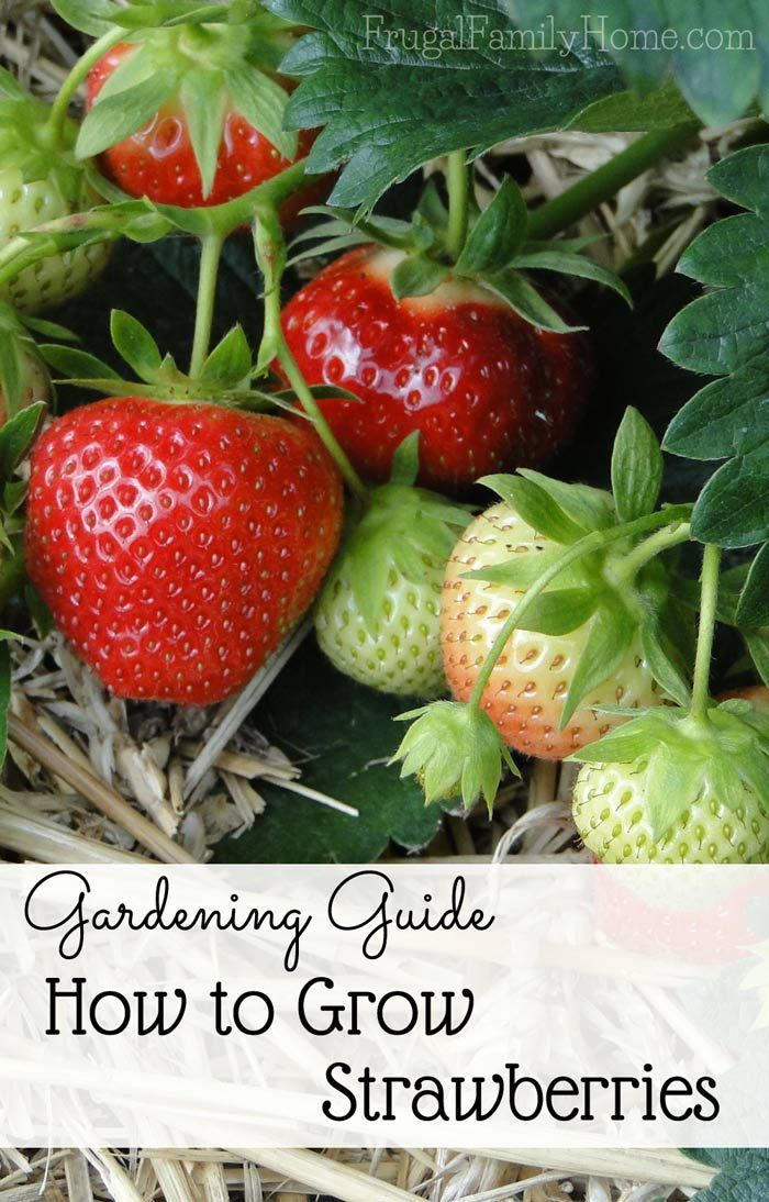 Gardening Guide, How to Grow Sweet Strawberries ...