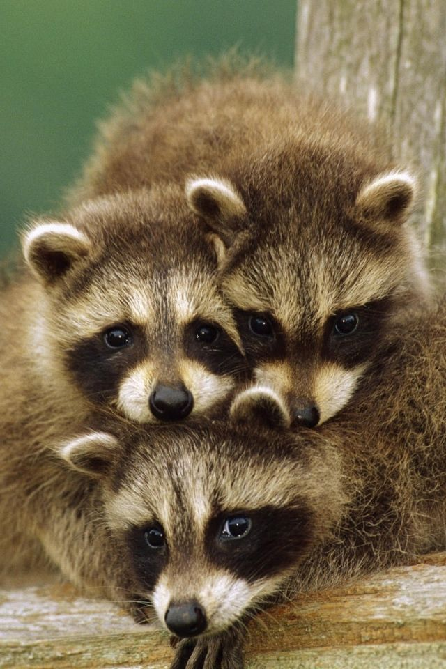 Little raccoon Cute baby animals, Cute animals, Baby raccoon
