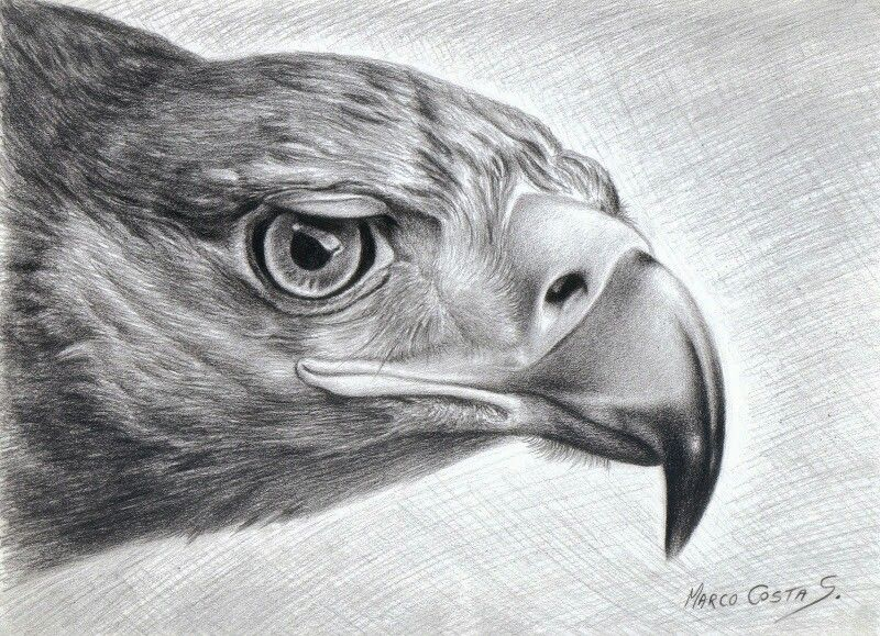 48 best aguilas images on Pinterest  Drawings Animals and Eagle