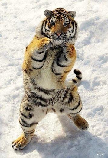 Pin De Estefania Noguera En Imagens Que Marcam Fotos De Animales Salvajes Humor Divertido Sobre Animales Tigre Siberiano