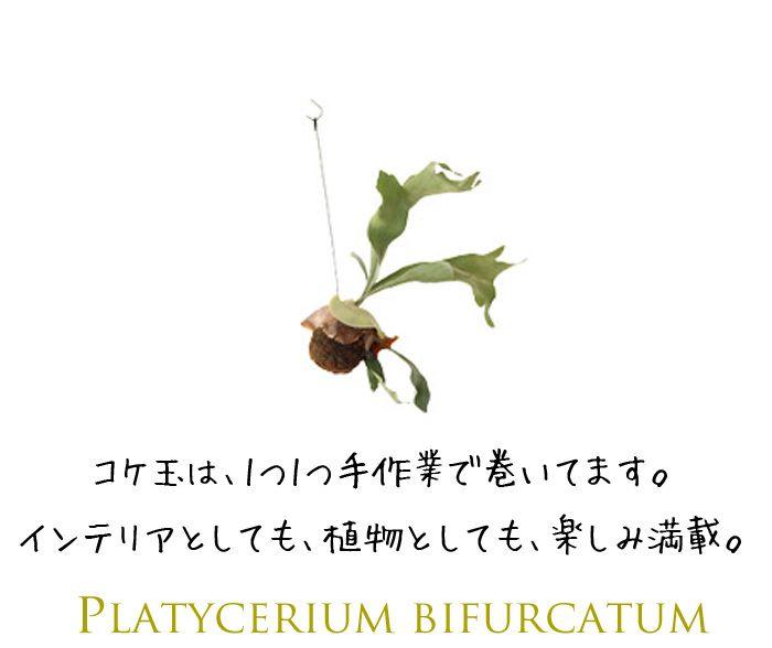 【楽天市場】完売御礼!お届けは2/20~【送料半額】コウモリラン・ネザーランドの苔玉(ビカクシダ):e-花屋さん