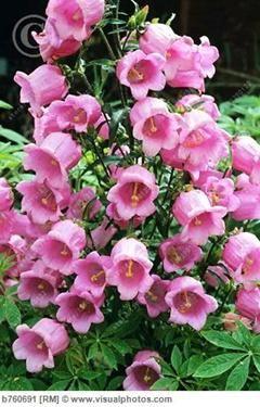 100 Pcs Bag Bell Orchid Seeds Flower Campanula Bonsai Flower Seeds 9 Colors Convallaria Seed Plant Pot For Home Garden Beautiful Flowers Flowers Flower Garden