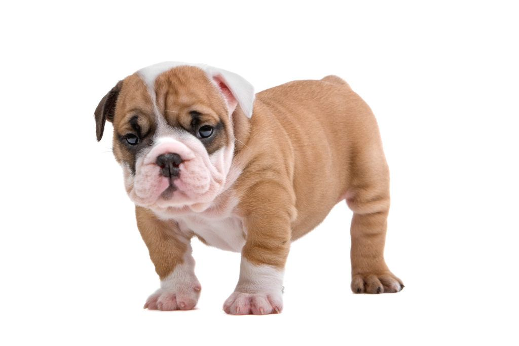 Pin By Vanessa Booth On Bulldog Puppy Training In 2020 Bulldog English Bulldog Puppy Bulldog Puppies