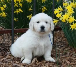 White Golden Retrievers And White Golden Retriever Puppies White