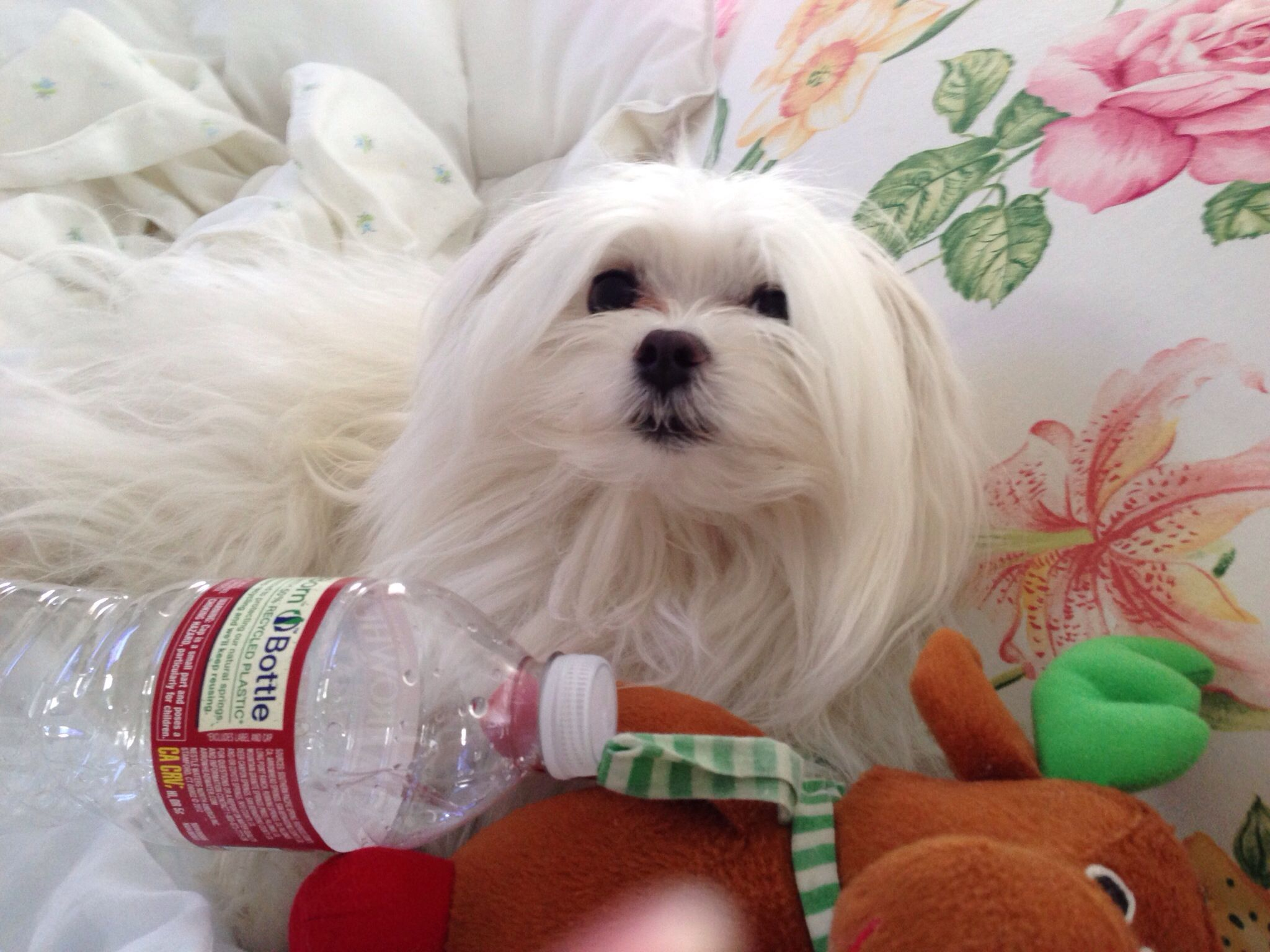 Alexander Maltese Super Cute Dogs Maltese Puppy