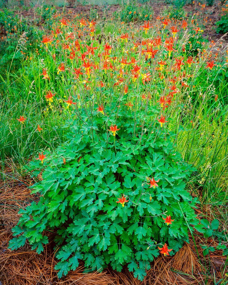 1bd9c1cede9abcf5e18d0d87d32d605c - Gardening With Oregon Native Plants West Of The Cascades