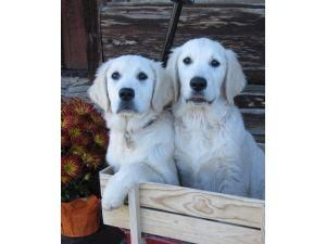 Golden Retriever Puppies For Adoption Golden Retriever Puppies