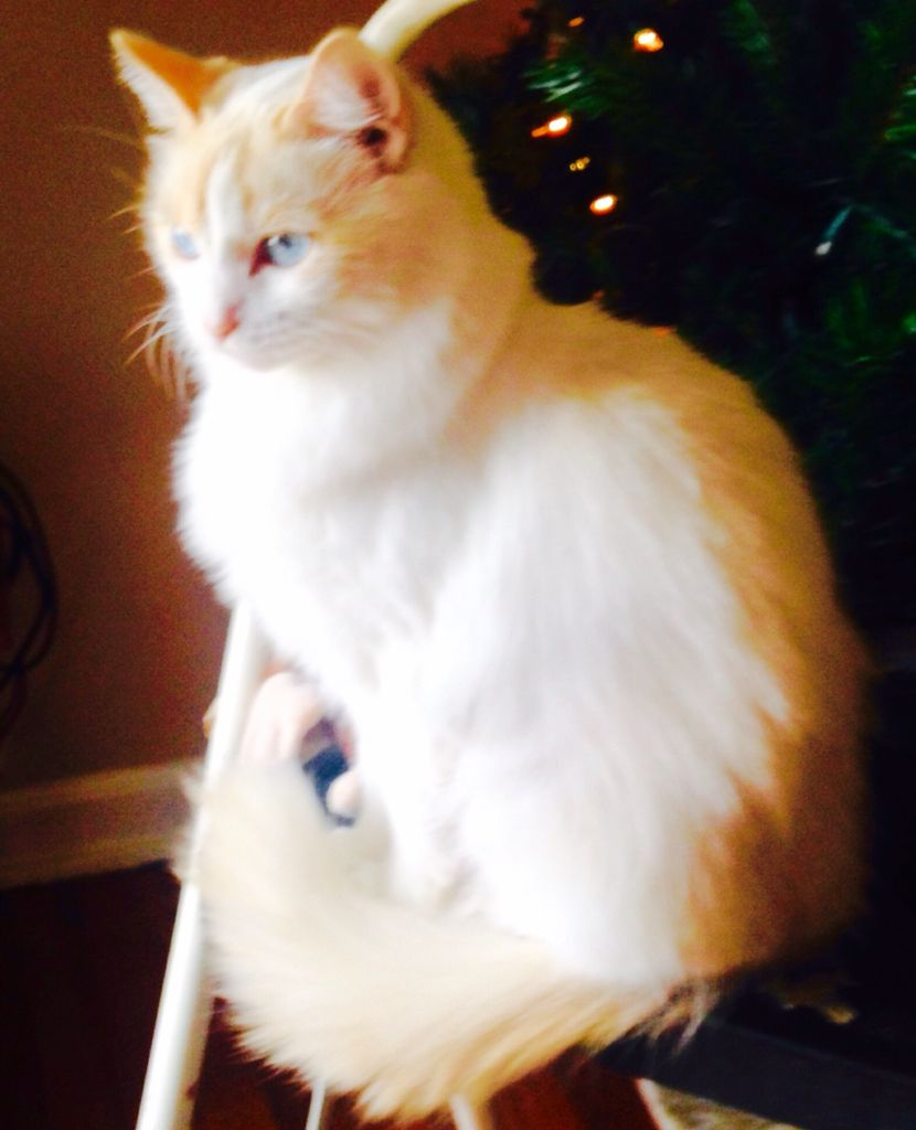 My Flamepoint Ragdoll Animals, Ragdoll, Cats