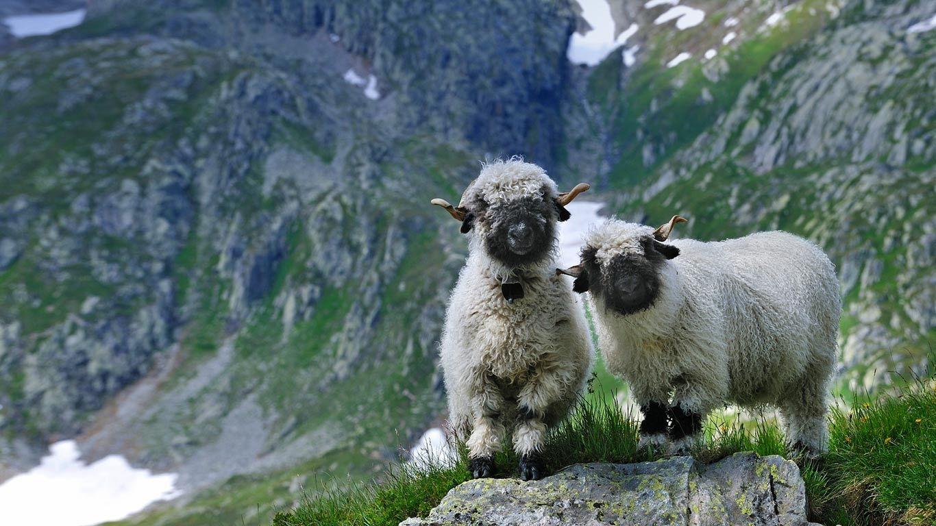 Het Valais Blacknose-schaap