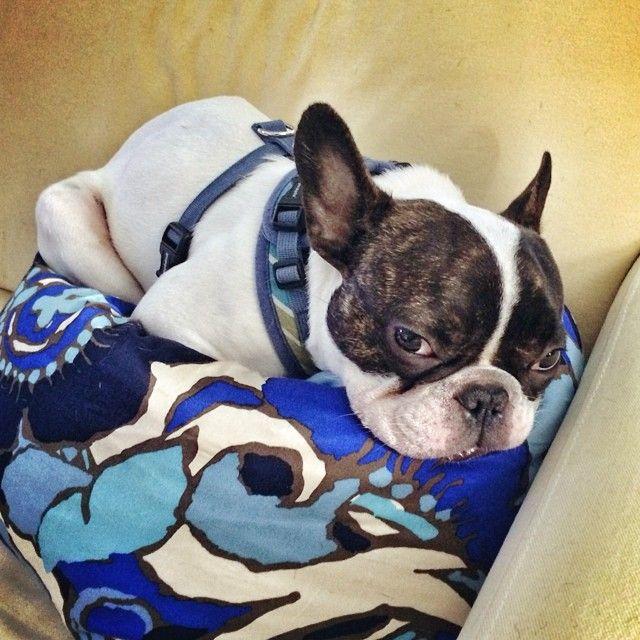 Tumblr French Bulldog Frenchie