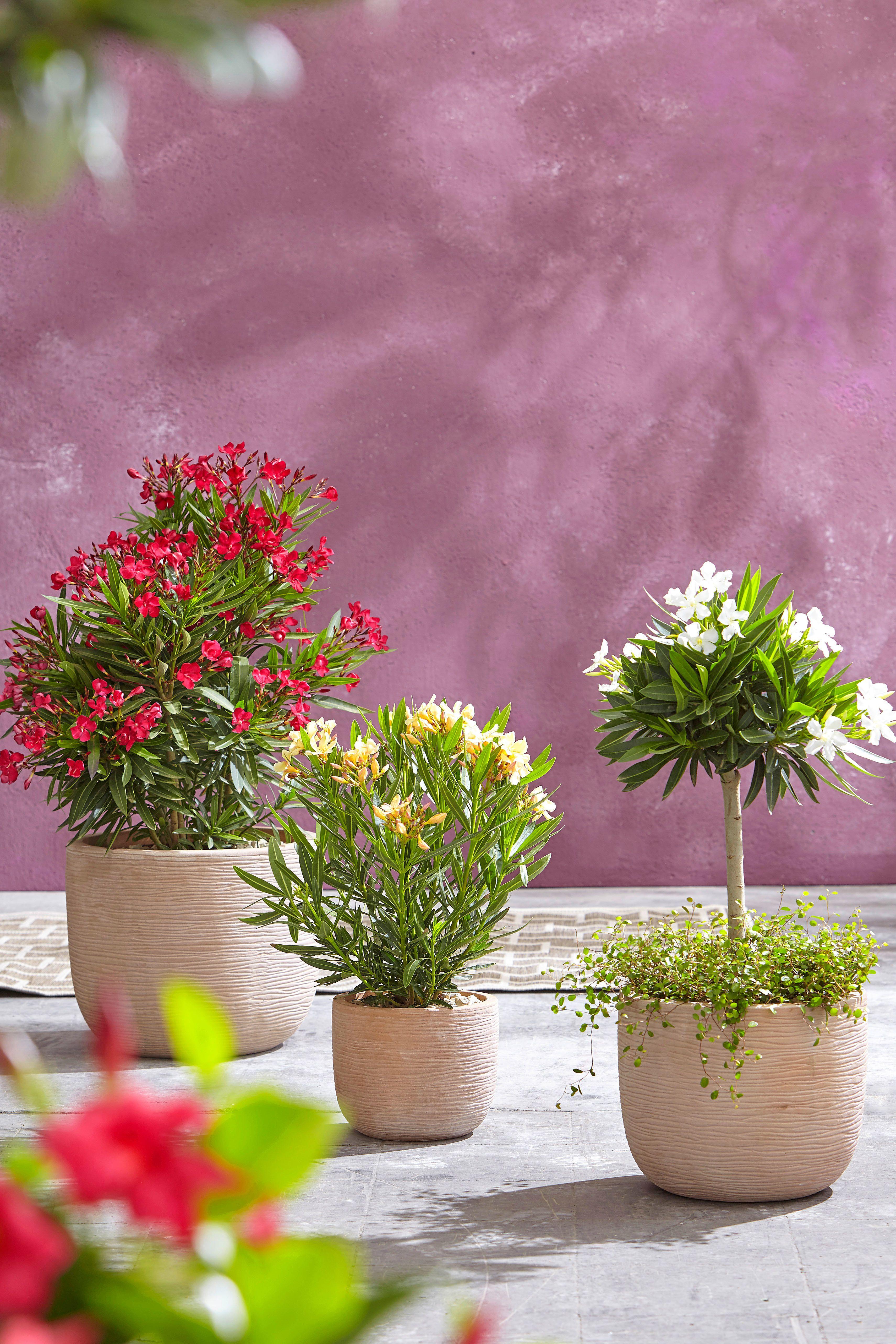 Bunte Kubelpflanzen Fur Terrasse Balkon Terrassenpflanzen Kubelpflanzen Balkon Pflanzen