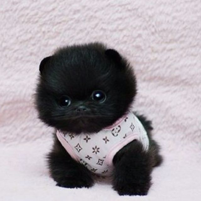 Pocket Pom love Pomeranians Pinterest Cute baby