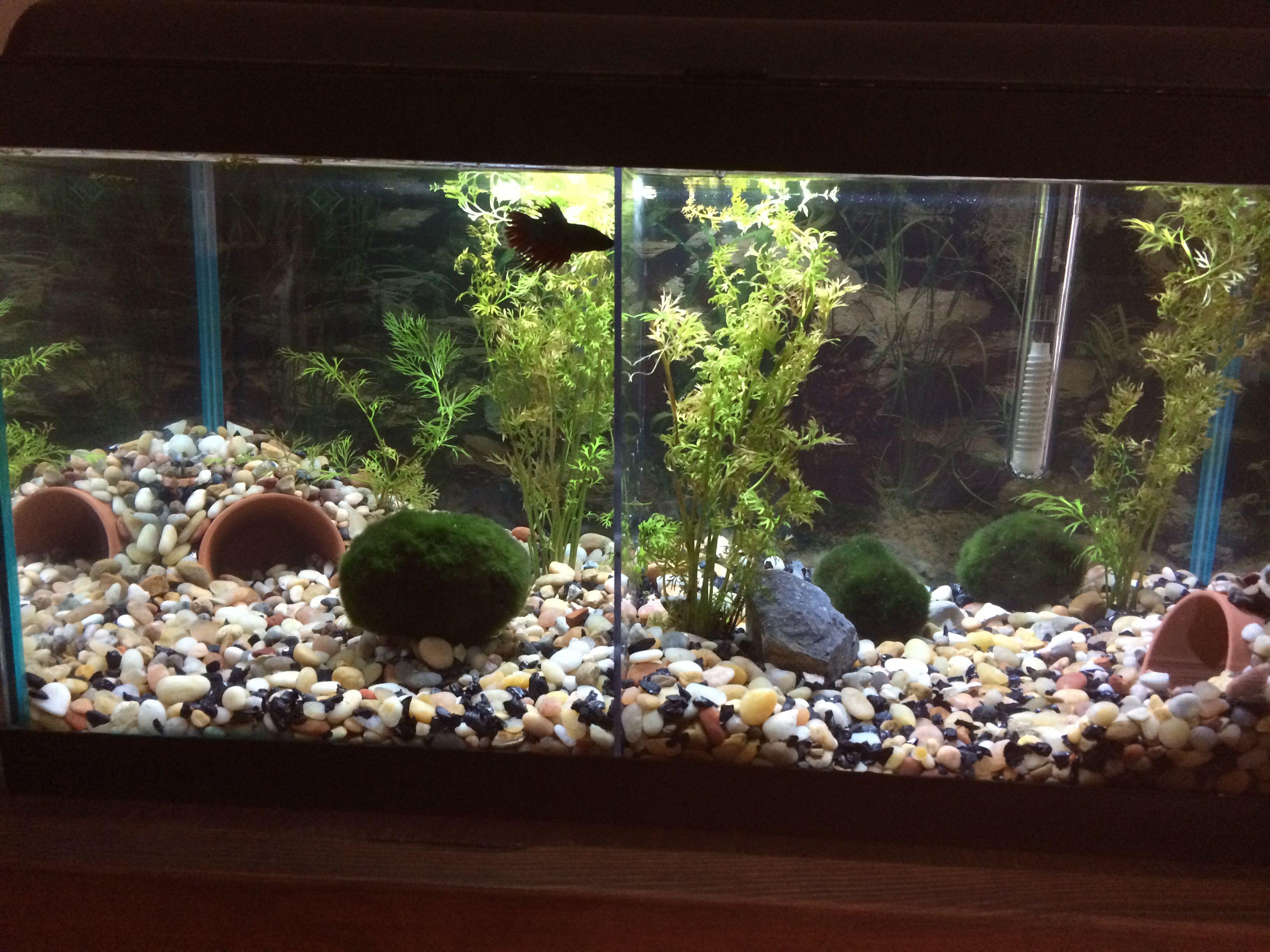My 15gallon aquarium holding my two bettas a plexiglass for Fish holding tanks