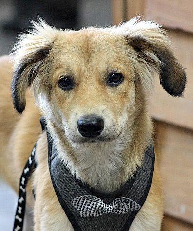Adopt Atticus On Australian Shepherd Adoption Dogs
