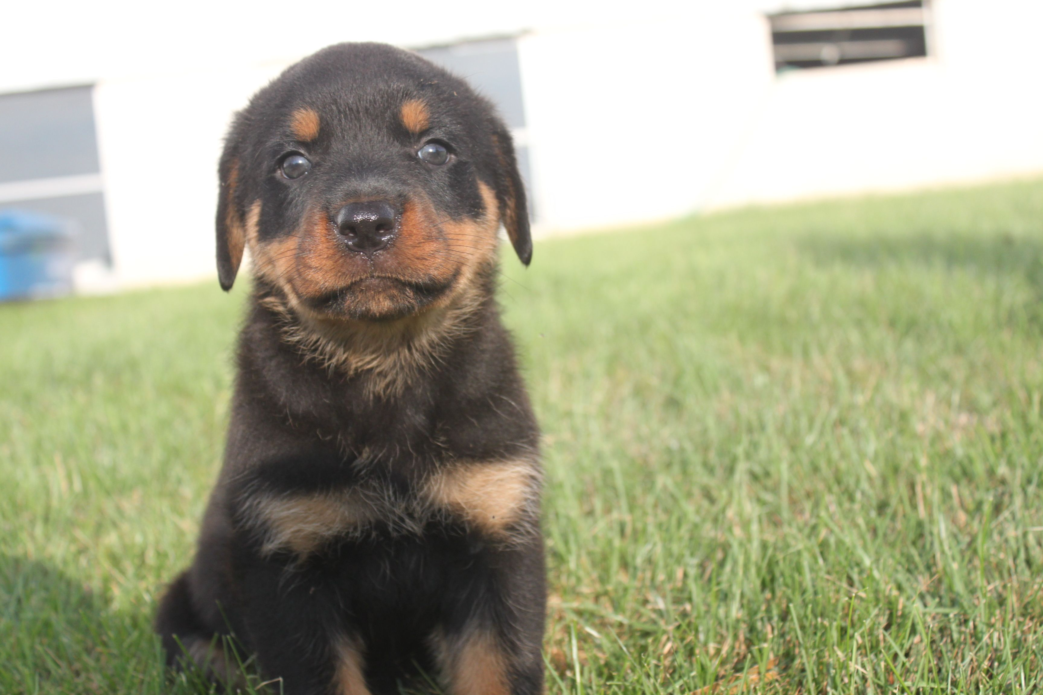 Rottweiler Puppies For Sale In Pa Under $500 References