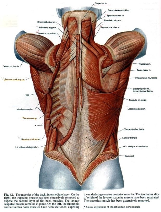 Muscle Dos Anatomy Pinterest Anatomy Muscle And Human Body