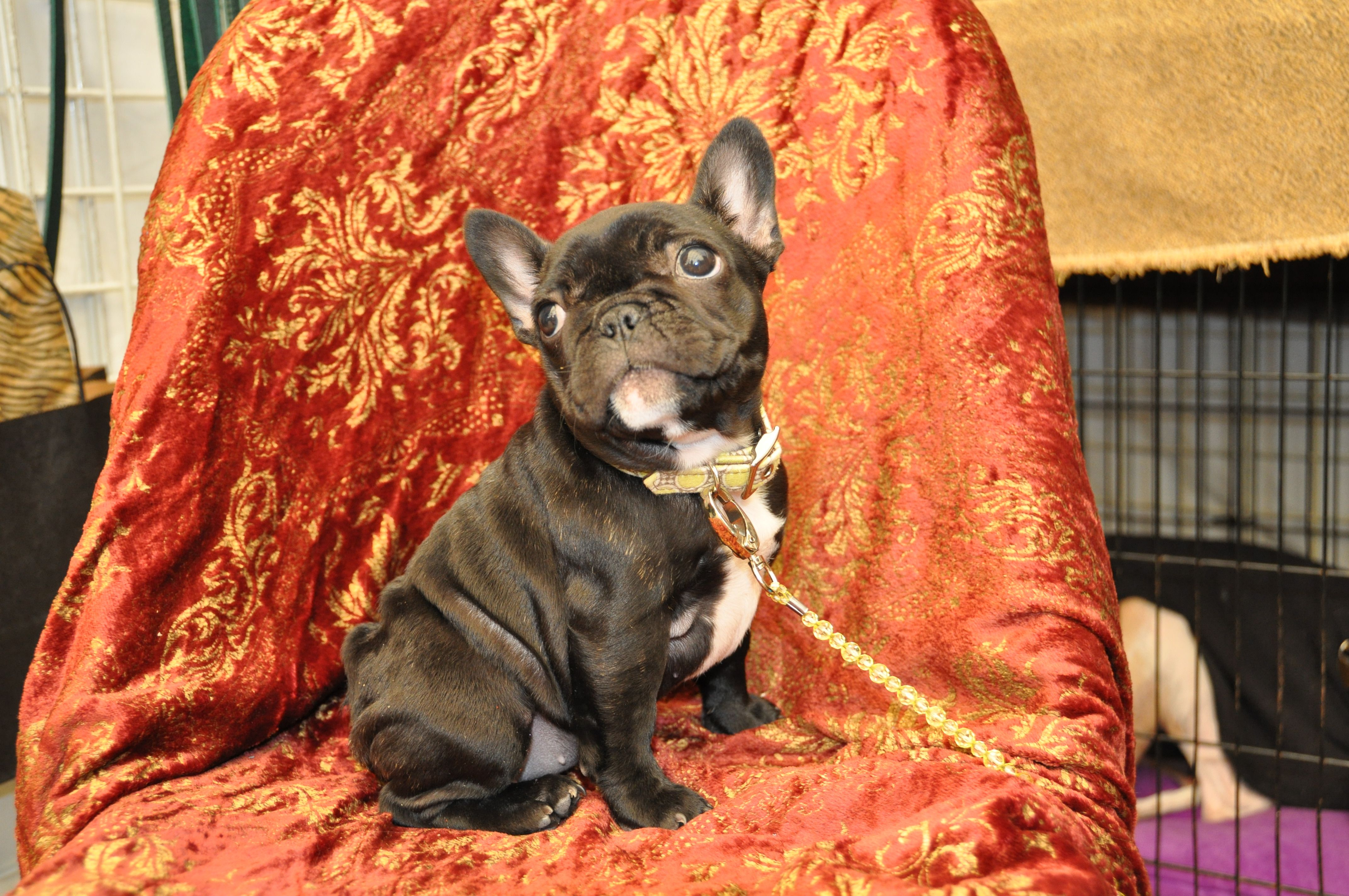 Miniature French Bulldog At The Palm Springs Dog Show Miniature